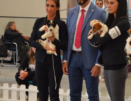 Raduno S.I.T (Società Italiana Terriers)- Jack Russell Terriers del 06 Ottobre 2018 – Firenze – Giudice Dott. Giuseppe Messina (ITA)